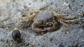 Two crustaceans on a stone. A baby crab and another crustacean on a stone stock video footage