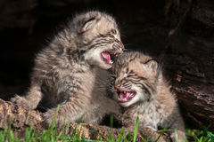 Two Crying Bobcat Kittens (Lynx rufus) Royalty Free Stock Image