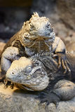 Two Cuban Iguanas - portrait Stock Photos