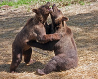 Two cubs bears Royalty Free Stock Image
