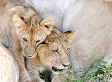 Two cubs with the lioness Stock Photos