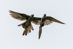Two cuckoo birds Stock Image