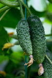 Two cucumbers growing in garden stock photos