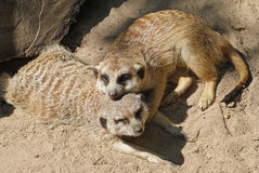 Two Cuddling Meerkats. Two meerkats relaxing in the sunshine Royalty Free Stock Images
