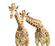 Free Two Curiosity Giraffes Stock Photo - 158630230