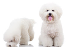 Two curious bichon frise puppy dogs,. One looking at the camera and one sniffing around Stock Photos