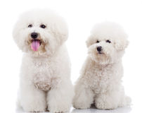 Two curious bichon frise puppy dogs. One looking at the camera and one looking at its pair Stock Photography