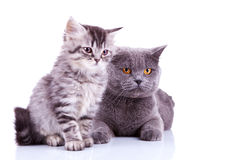 Two curious british cats looking to a side Stock Photos