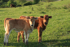 Two curious calves Royalty Free Stock Photography