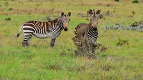 Two curious Cape Mountain Zebras Stock Image