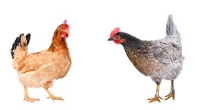 Two curious chicken standing together. Isolated on white background royalty free stock image