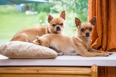 Two curious Chihuahua. Lying on the windowsill Royalty Free Stock Photo