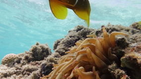 Two curious clown fish. (Amphiprion bicinctus) in anemone coral (Actiniaria stock footage