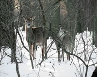 Two Curious Deer In The Snow At Valley Forge stock image
