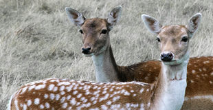 Two curious deers having a closer look Royalty Free Stock Images