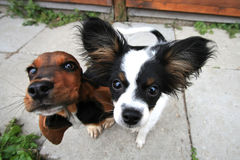 Two curious dogs. Watching the wide angle lens of my camera stock photo