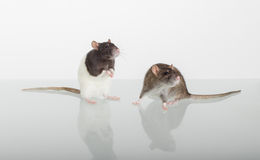 Two curious domestic rat Royalty Free Stock Photography