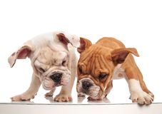 Two curious english bulldog puppies looking at something below t. Hem on white background stock image