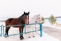 Two curious friendly horses in the paddock, standing on a rustic metal fence, peering into the camera in the snowy winter. Stock Photo