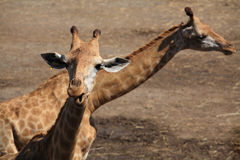 Two curious giraffes Royalty Free Stock Image