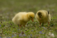 Two curious ducklings Stock Image