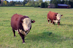 Two Curious Hereford Bulls On Meadow Royalty Free Stock Images