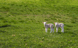 Two curious lambs Royalty Free Stock Images
