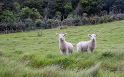 Two curious lambs on a hillside. Mount Maunganui. Tauranga. New Zealand Royalty Free Stock Photo