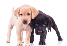 Two curious little labrador puppies standing together Stock Photo