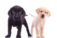 Two curious little labrador retriever puppies standing Royalty Free Stock Images