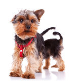 Two curious little yorkshire puppy dogs Stock Photography