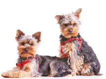 Two curious little yorkshire puppy dogs Royalty Free Stock Photo