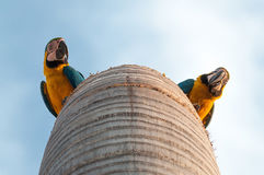 Two curious macaws in their nest Royalty Free Stock Photos