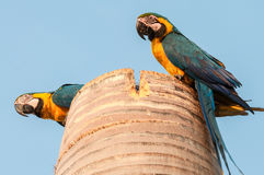 Two curious macaws in their nest Royalty Free Stock Photography