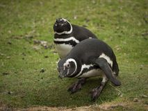 Two curious magellanic penguins Stock Photo