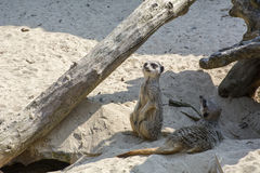 Two curious meerkats on the sand. In the day Stock Images