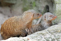 Two curious mongooses Stock Photos