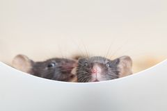 Two curious mouses Stock Images