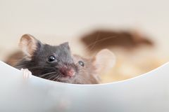 Two curious mouses. Photo of two mouses look out the partition stock images