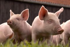 Two Curious Piglets Stock Images