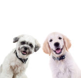Two curious puppies looking at the camera. Isolated on white background. small labrador retriever and bichon dogs standing togehter Royalty Free Stock Photos