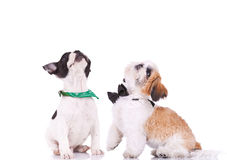 Two curious puppies are looking up Stock Photography