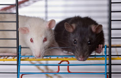 Two curious rats. In a cage close up Stock Images