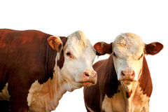 Two curious cows. Two curious red and brown cows isolated on white Royalty Free Stock Photo