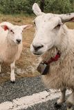 Two sheep with a bells on the road. stock images