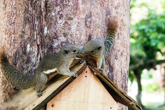 Two curious Slender squirrel sit on a tree, Malaysia. Two curious slender squirrel sits in a birdhouse hanging on the tree, and Malaysia Stock Photography