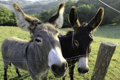 Two curious spanish donkeys on a meadow stock photos