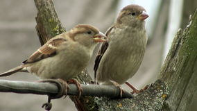Two curious sparrow bird stock footage