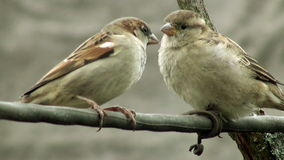 Two curious sparrow bird stock video footage