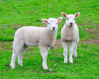 Two curious young lambs. Two very young lambs out in a field royalty free stock photography